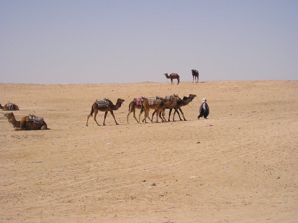 Camels in southern Tunisia